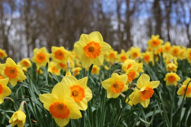 Daffodils are Toxic Plants for Dogs