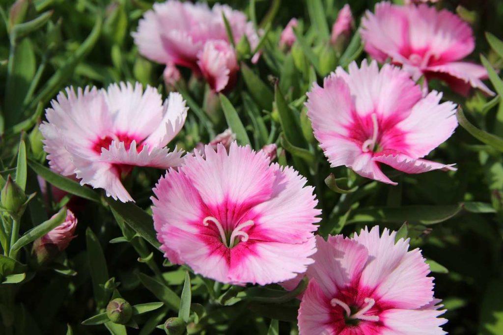 dianthus in bloom