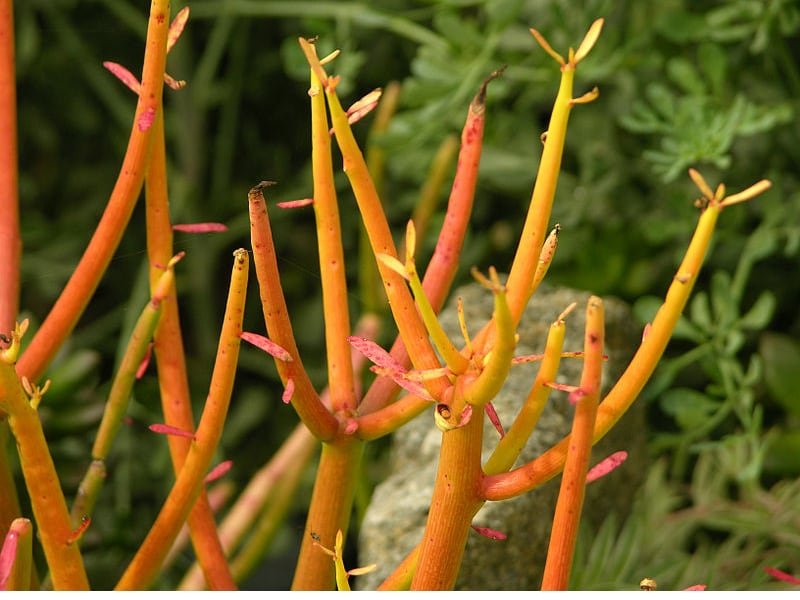 different types of succulents with pictures fire sticks