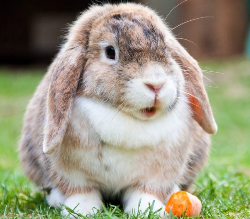 english-lop-rabbit