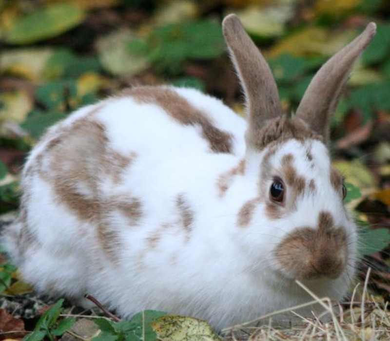 english-spot-rabbit