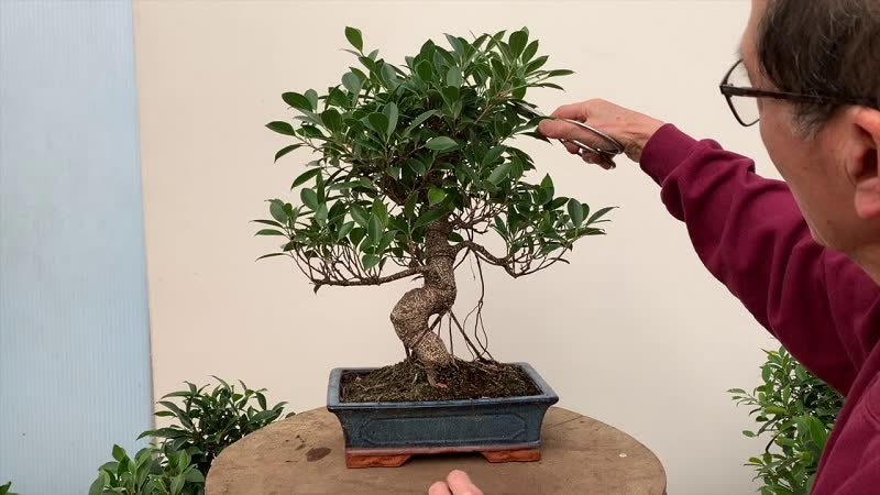 Bonsai Tree Complete Guide How To Grow And Care For Bonsais