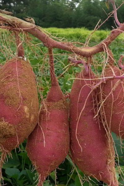 fresh harvest sweet potatoes