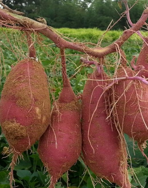 fresh harvest sweet potatoes