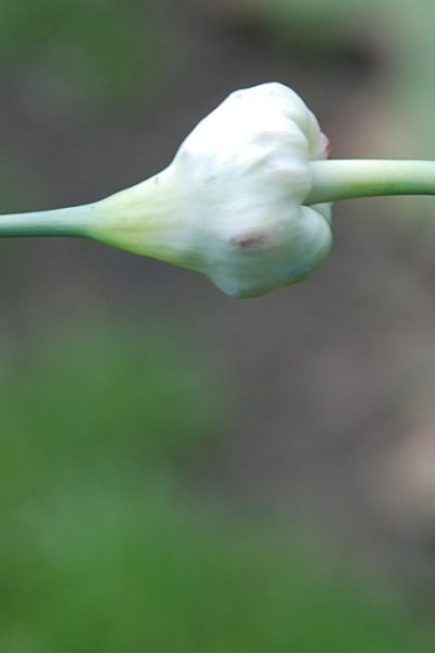 garlic plant with bulb