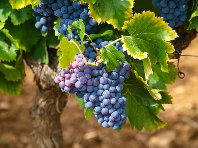Grapevines are Toxic for Cats