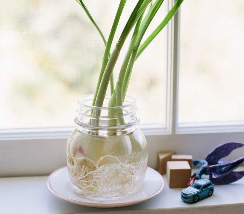 growing garlic in water