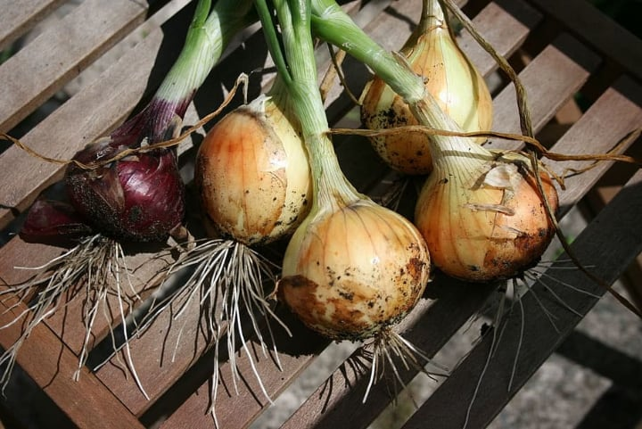 growing green onions from bulbs