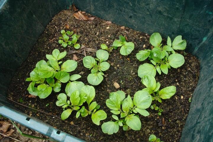 growing potatoes indoors in contianer