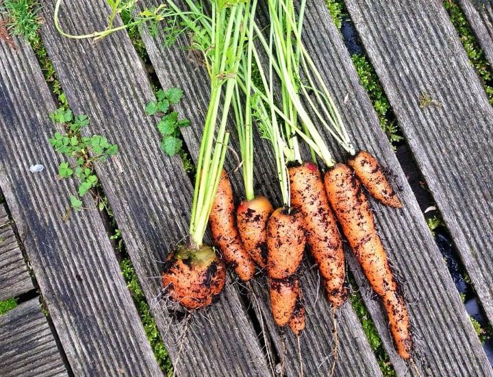 harvesting vegetables grown indoors