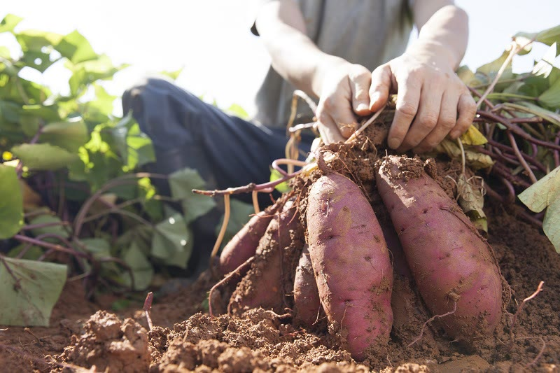 how to harvest sweet potatoes