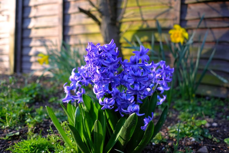 Hyacinths are House Plants Toxic to Cats