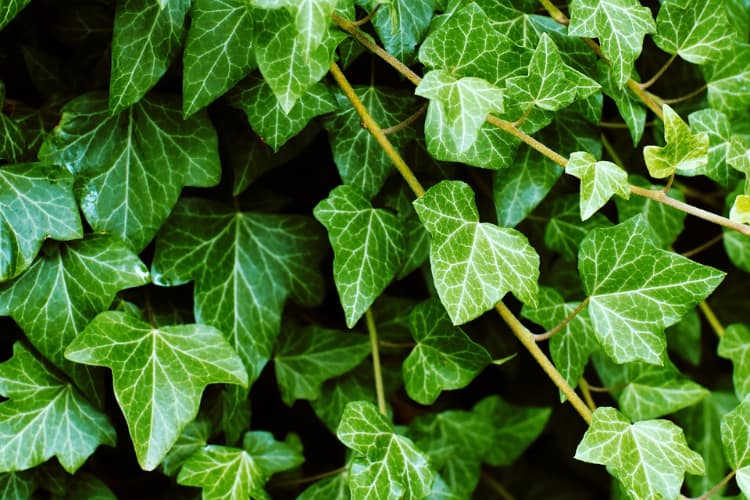 Ivy ASPCA Toxic Plants for Cats