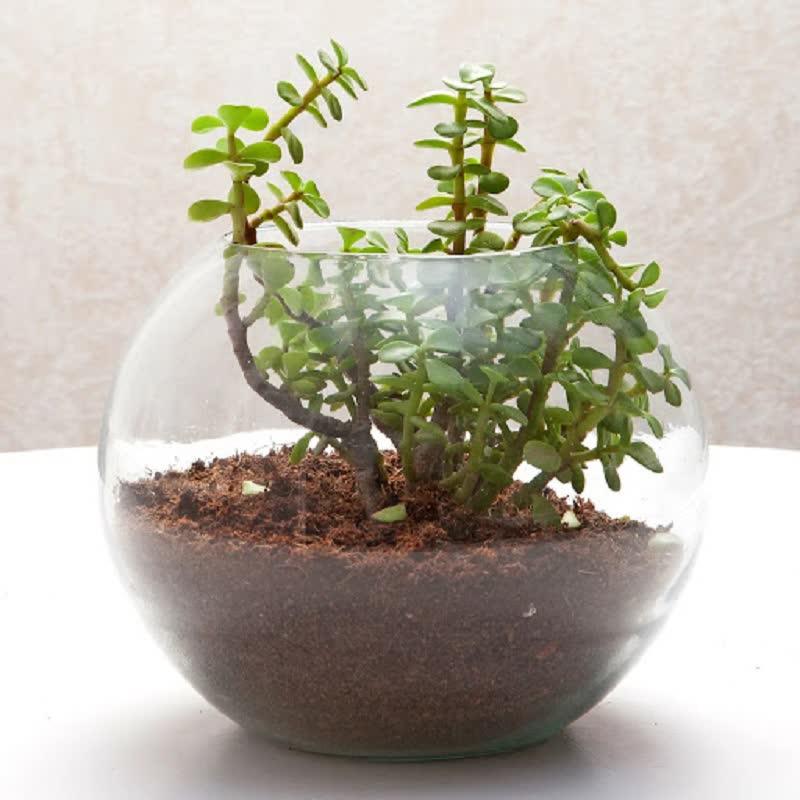 jade plant terrarium