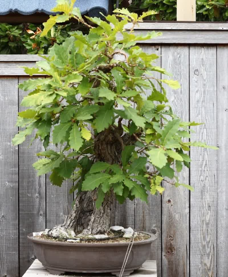 oak bonsai tree
