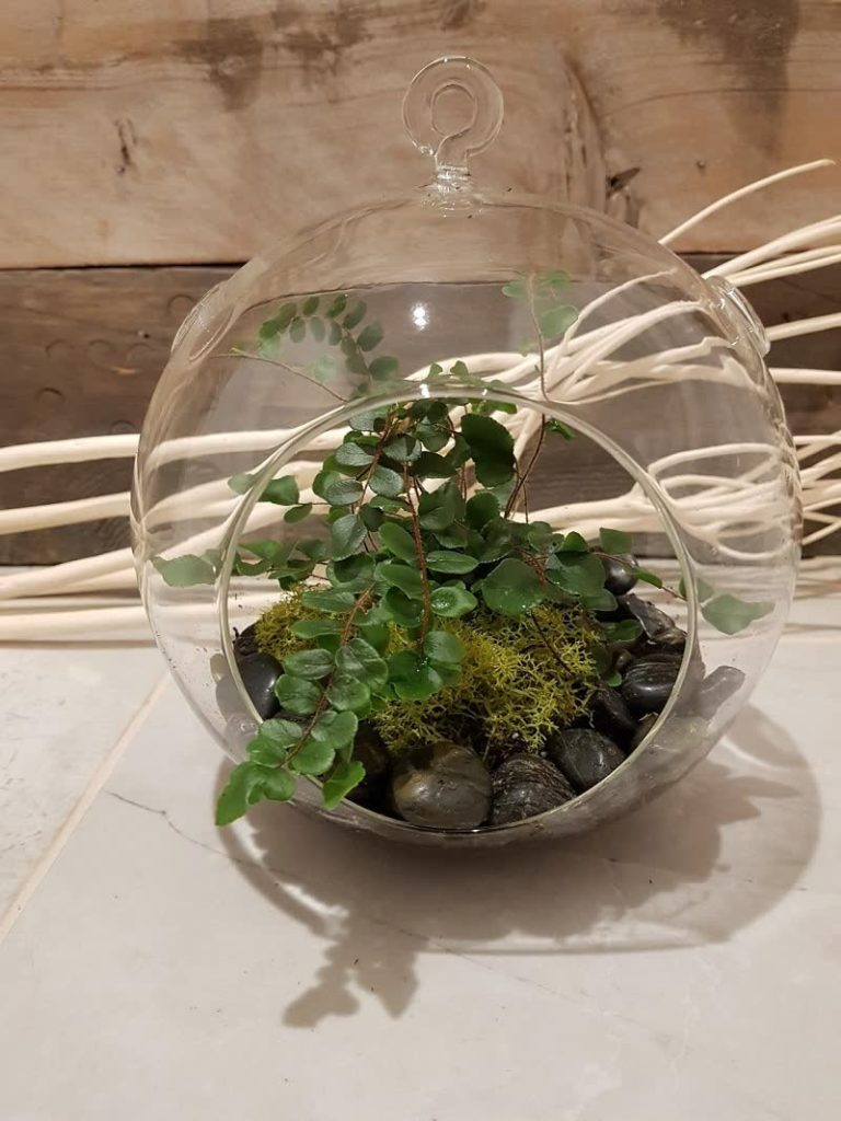 open terrarium Button Ferns