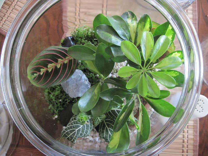 prayer plant terrarium
