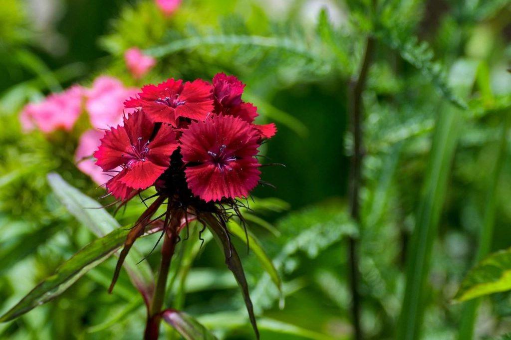 scarlet beauty dianthus
