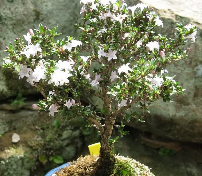 snow rose bonsai tree