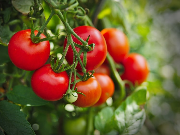 Tomatoes are Listed on APCA Toxic Plants