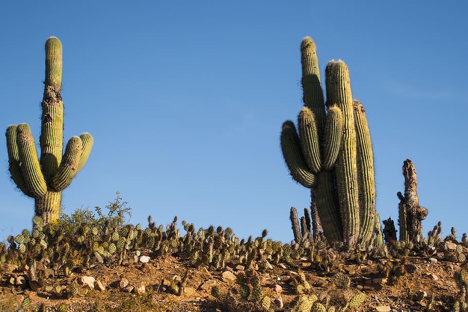types of cacti succulents saguaro cactus
