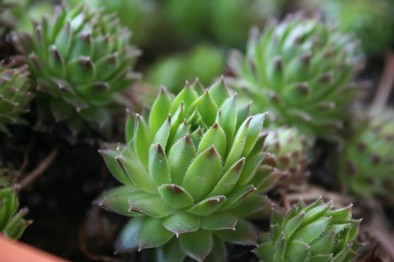 types of cactus and succulents hens and chicks