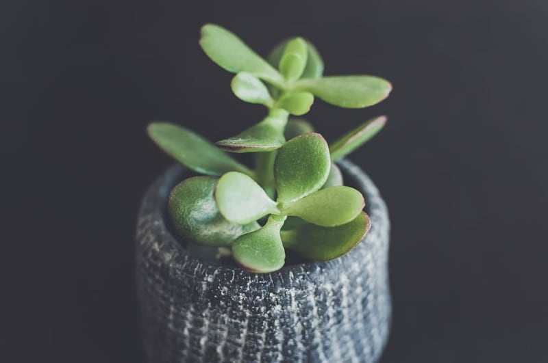 types of crassula succulents jade plant