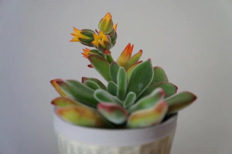 types of echeveria succulents plush plant