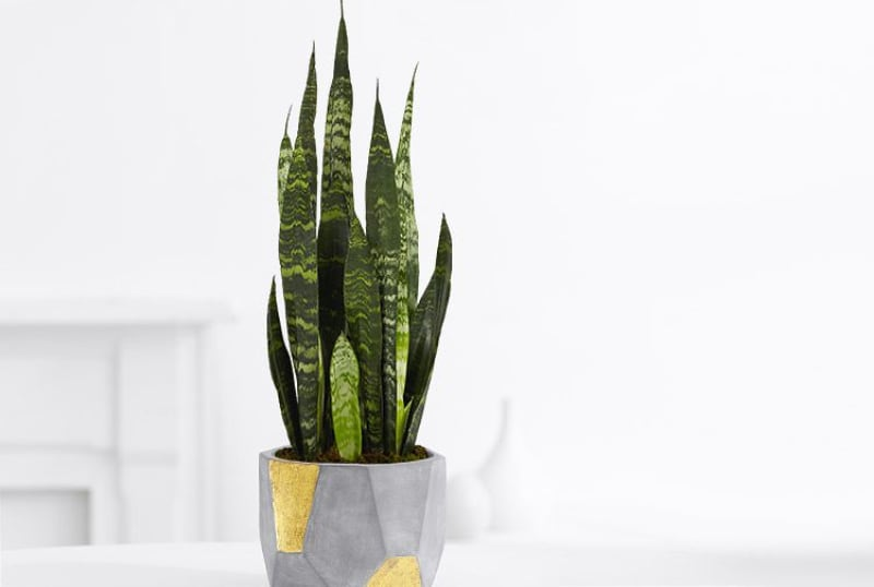 types of house succulents snake plant