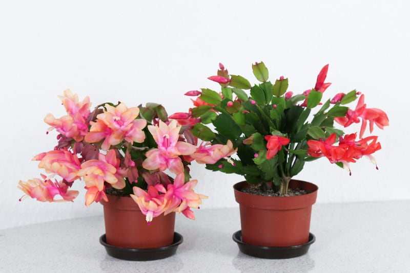 types of potted succulents christmas cactus