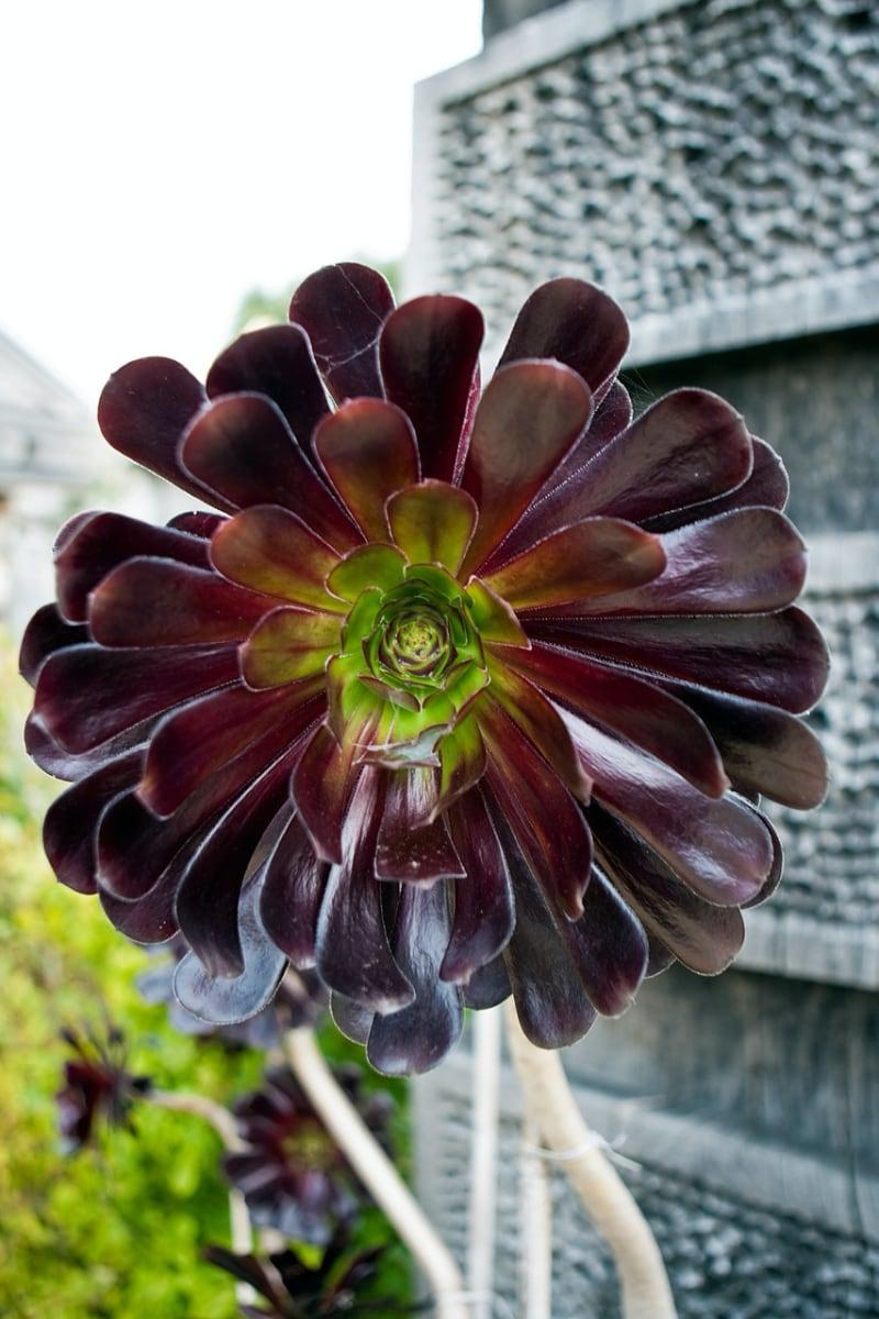 types of rosette succulents zwartkop