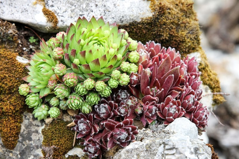 types of sedum succulents stone crop