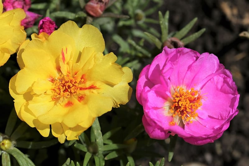 types of succulents and care moss rose