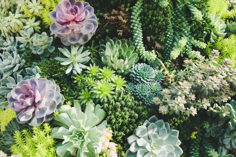 types of succulents for outdoors