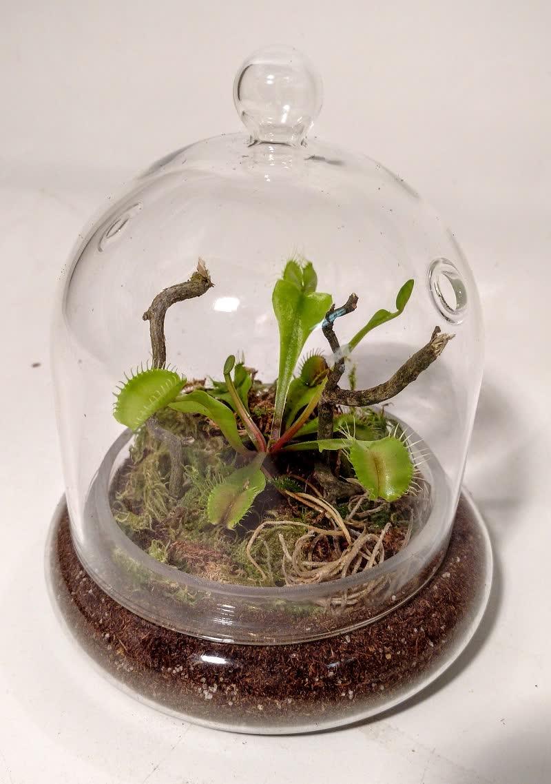 venus trap terrarium plants
