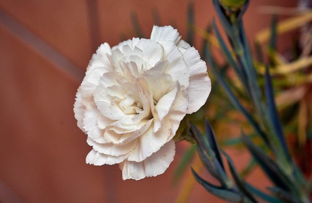 white carnation dianthus