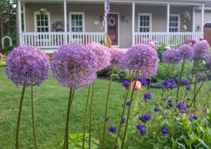 allium flowers in the yard