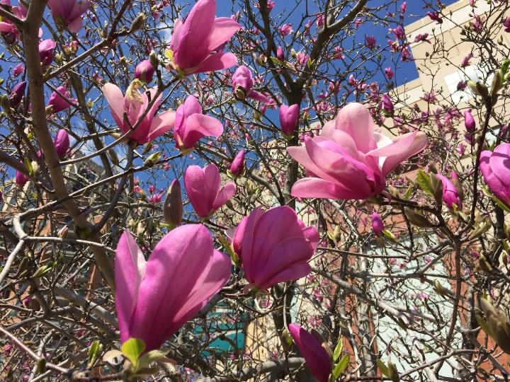 ann magnolia tree