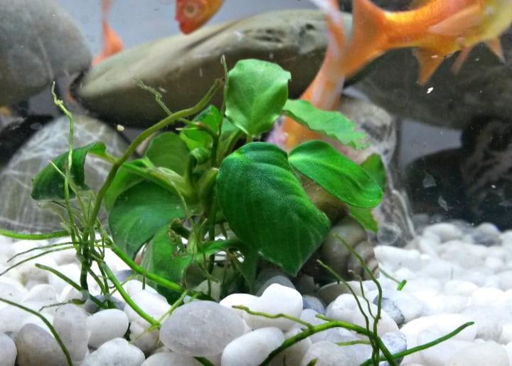 anubias freshwater aquarium plant