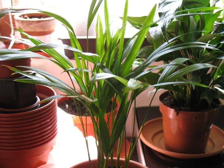 areca palm low light indoor shade trees