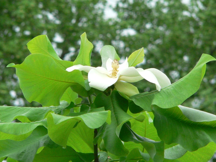 ashe magnolia tree