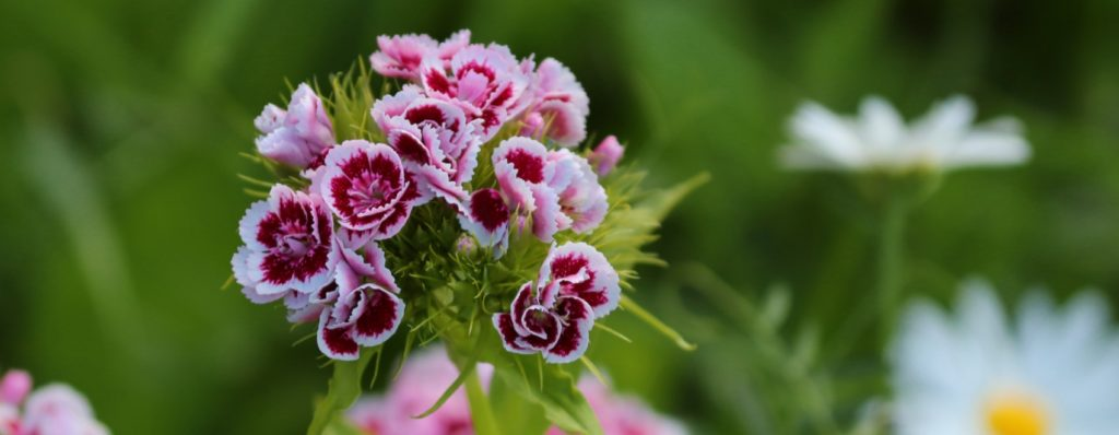 beautiful dianthus flowers in the garden