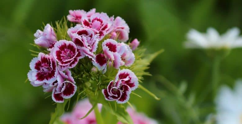 beautiful dianthus flowers in the garden