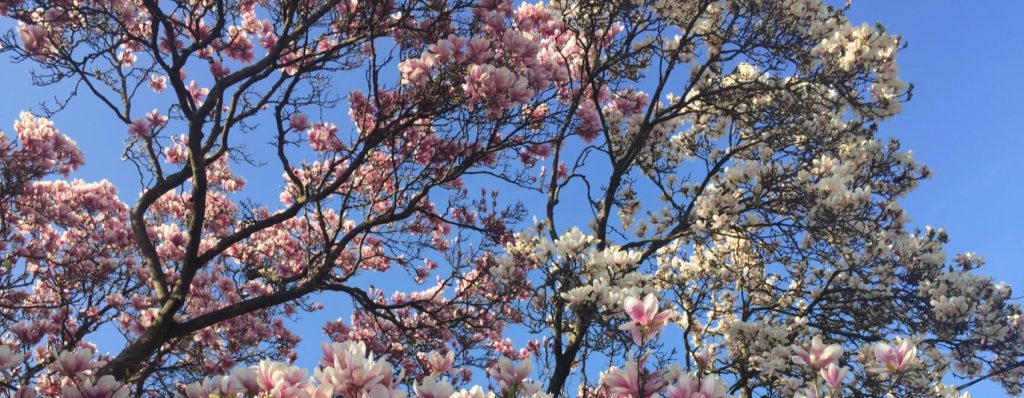 beautiful pink magnolia tree