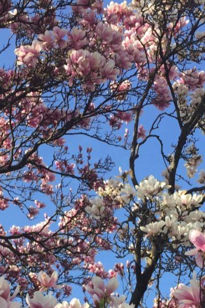 beautiful pink magnolia tree