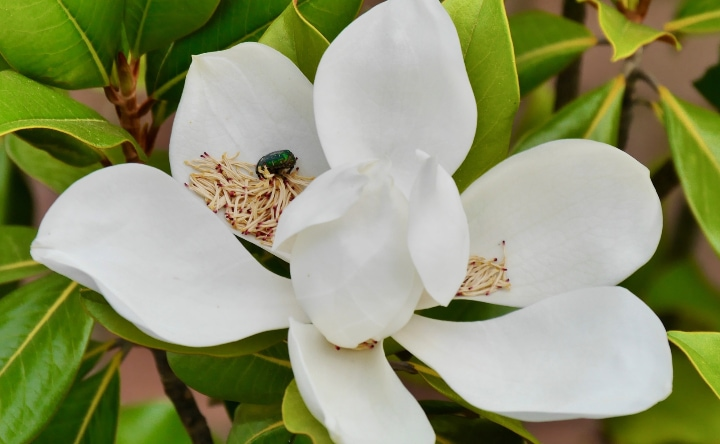 beetle pollenating a magnolia flower