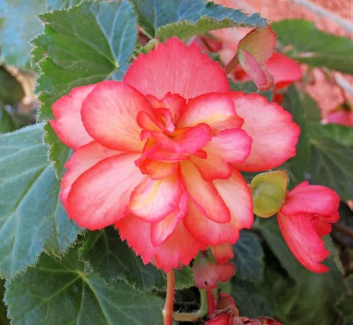 bergonia indoor potted plant