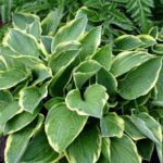 best perennial to grow in shade are hostas