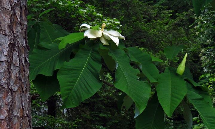 big leaf magnolia tree