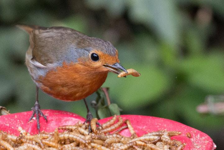 bird eating mealworms